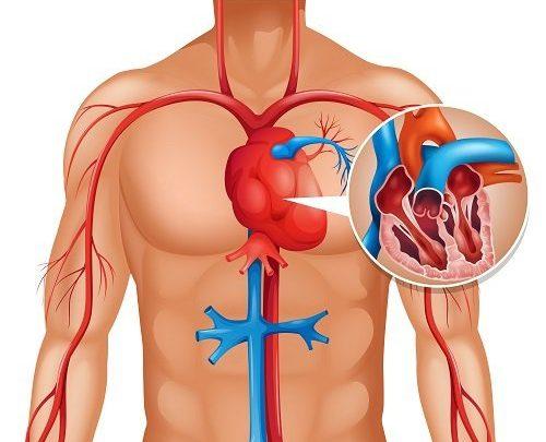 De cómo el colágeno no sólo sirve para rejuvenecer nuestra piel o la importancia de la matriz extracelular en el sistema cardiovascular
