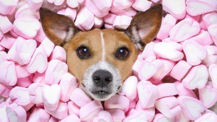 ¿Son peligrosos los dulces para los perros?