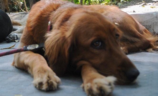 Utilizan nanopartículas de plata para curar moquillo en perros