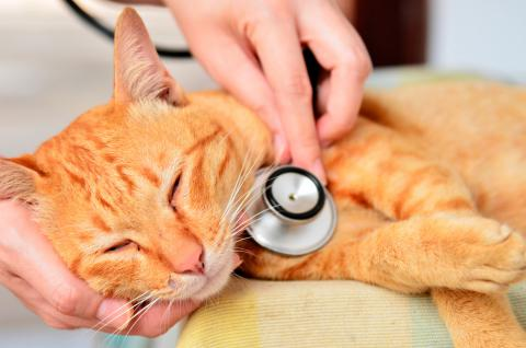Intoxicaciones en el gato