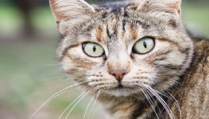 Cómo Identificar La Fiebre En Gatos, De Un Modo Simple Y Eficaz.