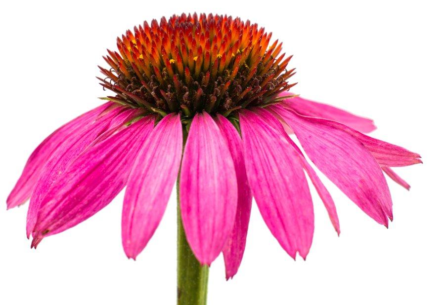 ¿Qué es la echinacea y para qué sirve?